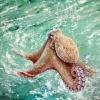 Oktopuss - Öl