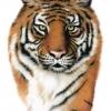 Tiger - Pastell